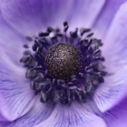 crown-anemone-6157488_1920
